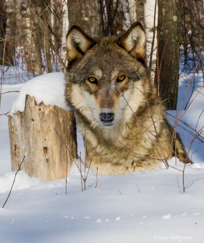 winter wolf photos 2014 718-208