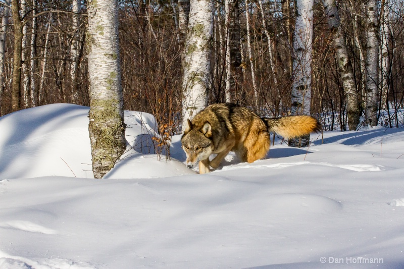winter wolf photos 2014 746-228