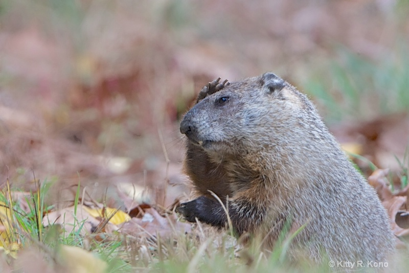 Groundhog with Headache in Valley Forge Today