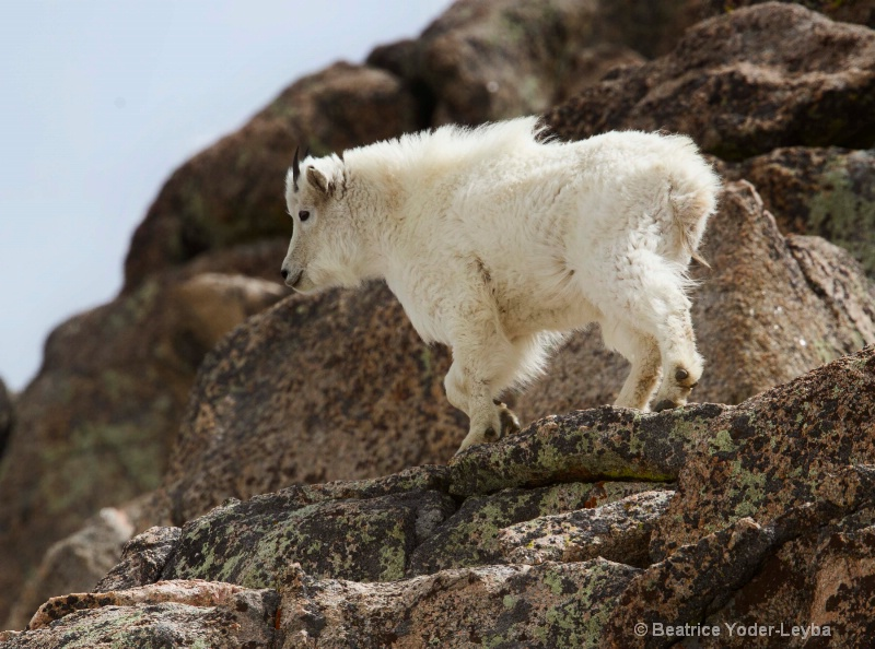 mg 4765 goat climb to near 14 229 ft