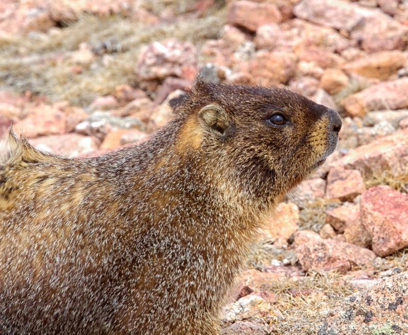 mg 4848 mte marmot