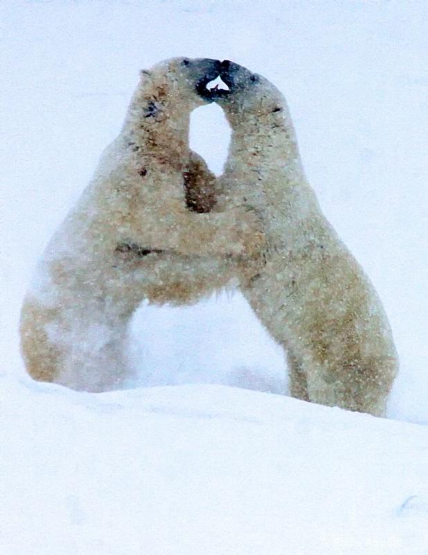 Polar Bear Dance in the Blizzard