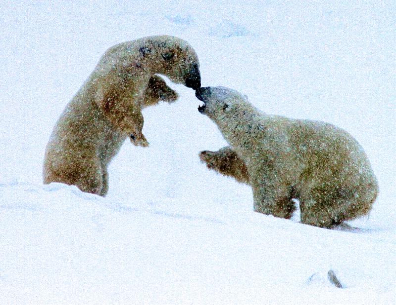 Polar Bear Dance #3