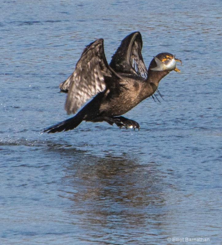 Cormorant 21