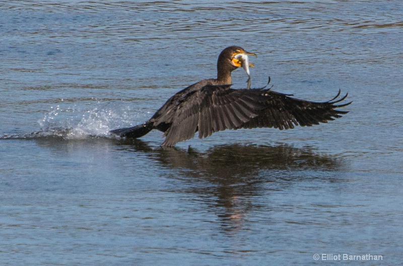 Cormorant 20