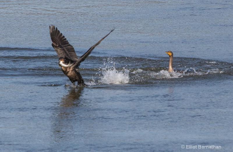 Cormorant 19