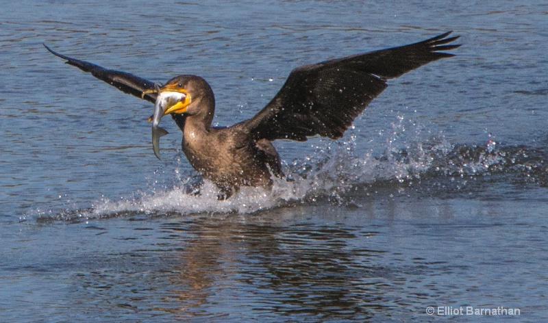 Cormorant 18