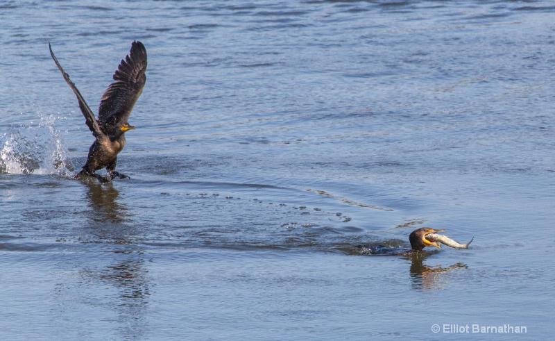 Cormorant 16