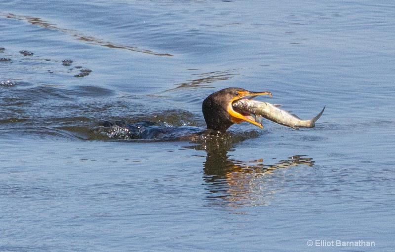 Cormorant 15