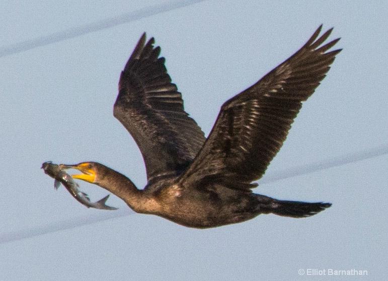Cormorant 7