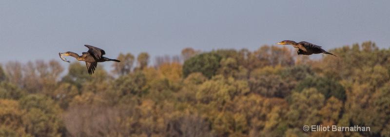 Cormorants 6