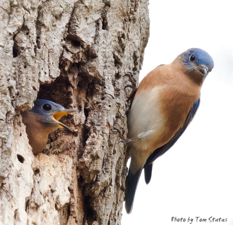 Bluebirds on Migration by Tom Statas