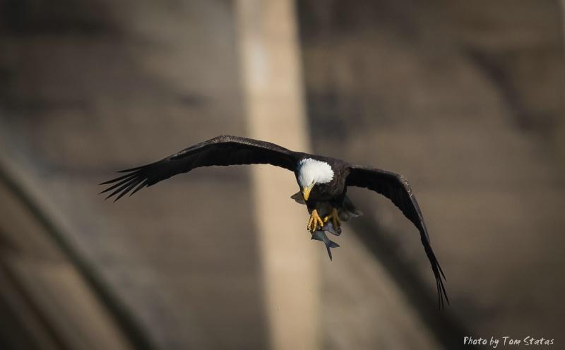 Eagle by Tom Statas