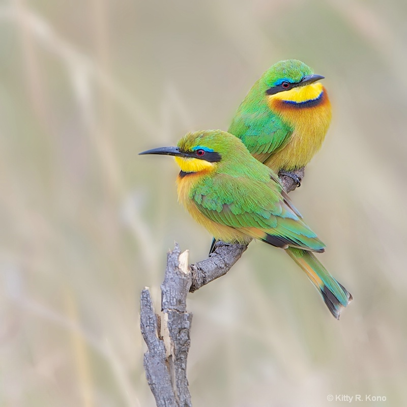 Bee Eaters Looking for Bees