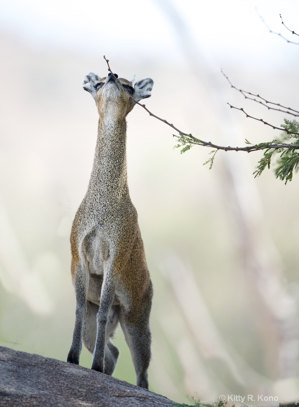 Klipspringer and Bud