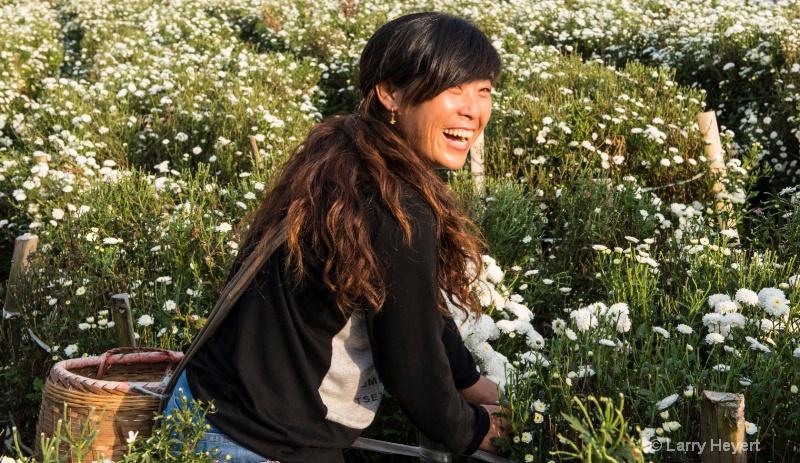 Chrysanthemum Harvest in China