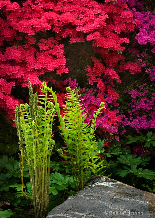 ferns and azaleas