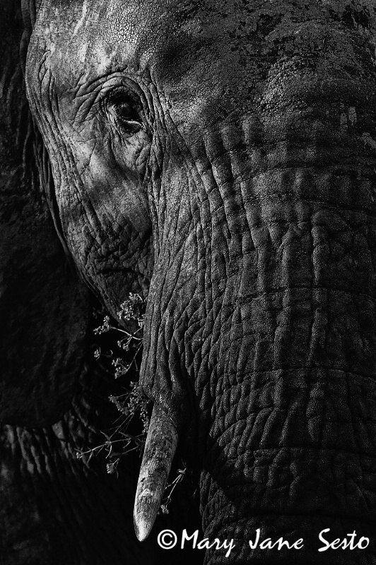 Bull Elephant, B&W, S. Africa