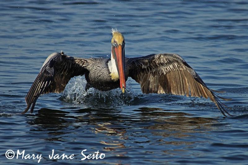 Pelican Lift-off, Bolsa Chica, Ca.