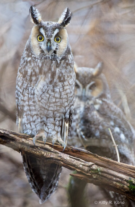 Long Eared Owls Posing in Valley Forge