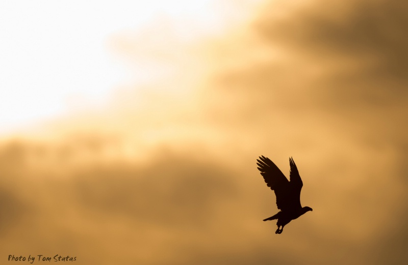 Eagle at Sunrise, by Tom Statas