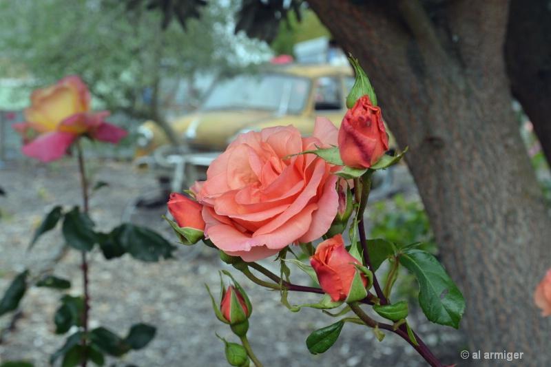 Roses & wrecks dsc 2633 copy