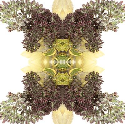 Sedum and sunflower in ice—kaleidoscopic