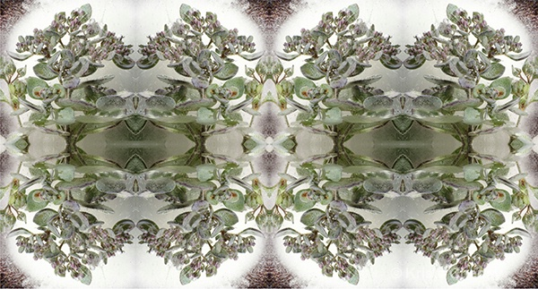 Sedum in ice V—kaleidoscopic