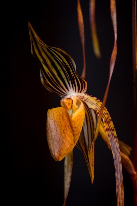 Paphiopedlum Venus Slipper Orchid
