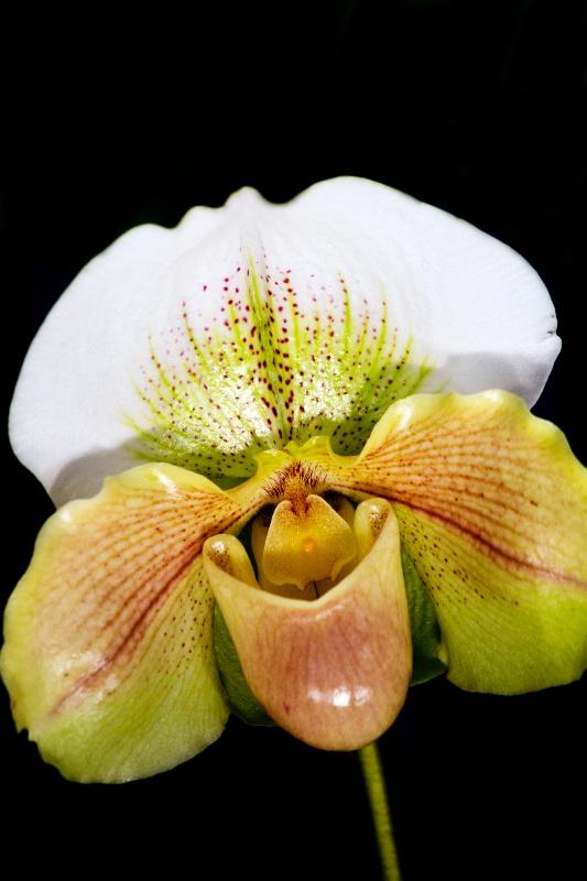 Paphiopedlum Orchid #2