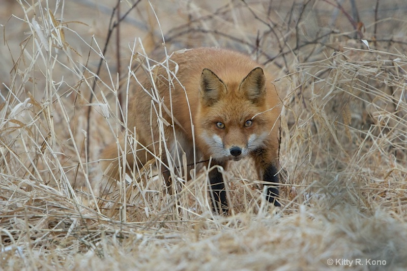 In the Eye of the Fox