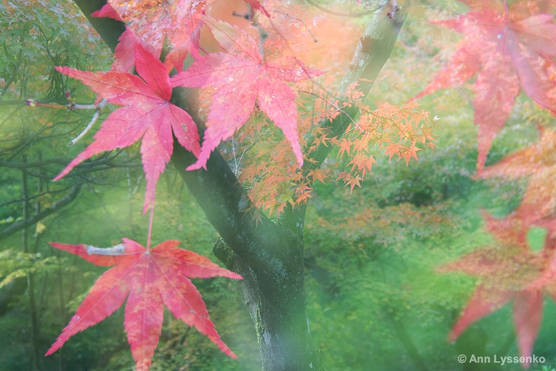 Maple Leaf Dream