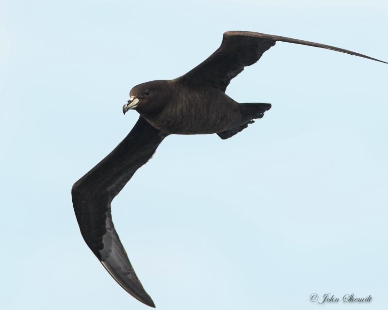 Black Petrel - March 20th, 2013