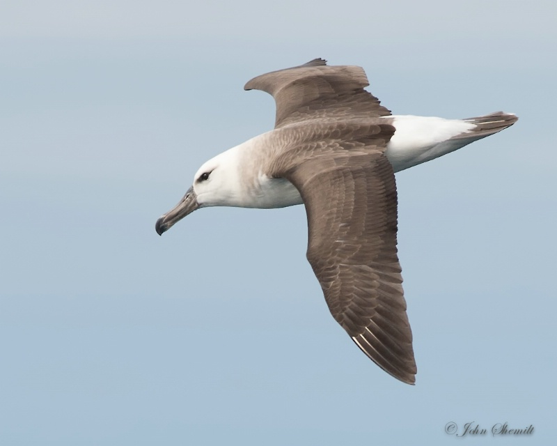 Black-browed Albatross - Nov 5th, 2014