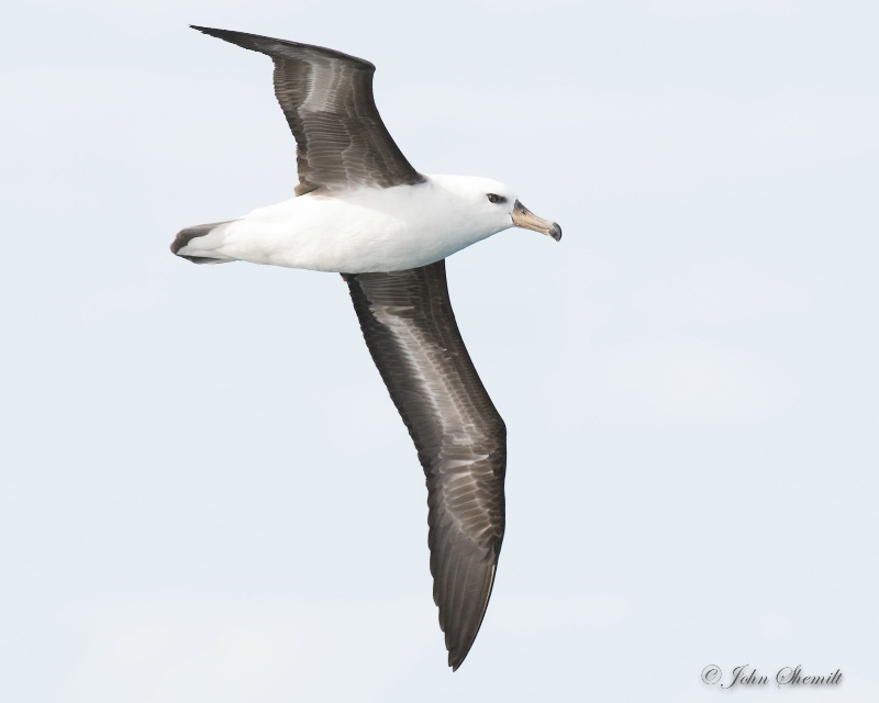 Black-browed Albatross - Nov 10th, 2014