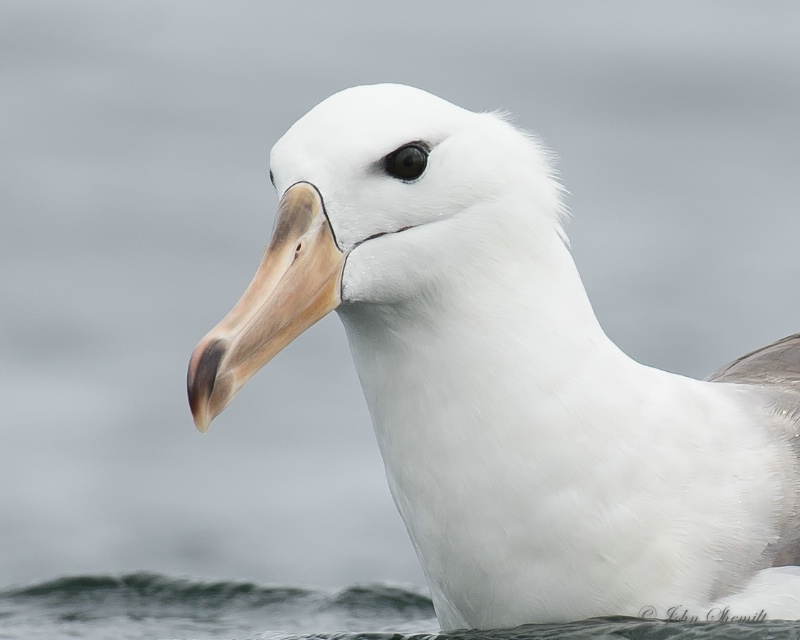 Black-browed Albatross - Nov 18th, 2014
