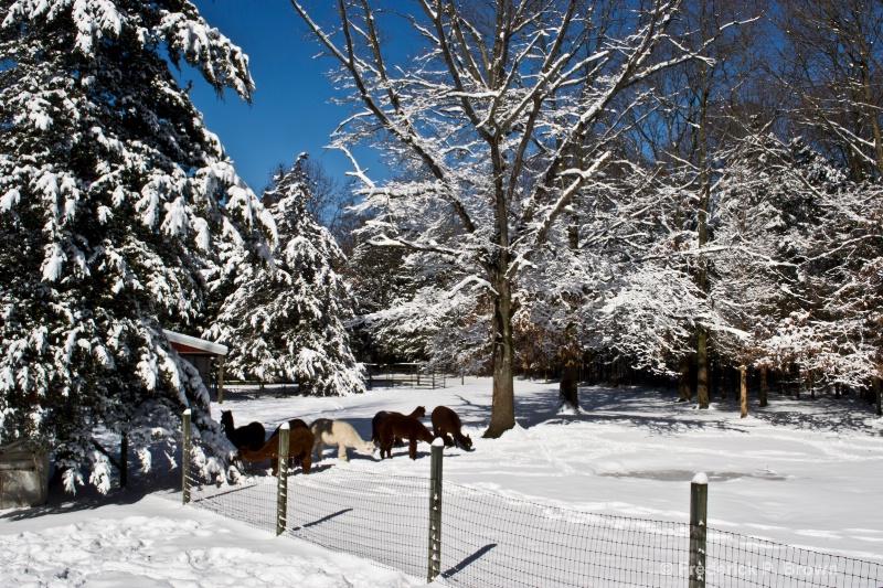 Alpacas in the snow!