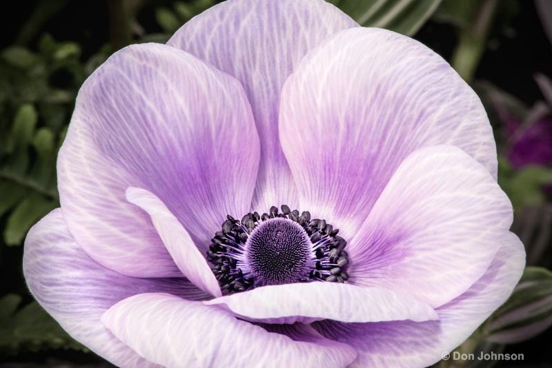 Anemone-Purple 4-0 f lr 2-28-15 j076