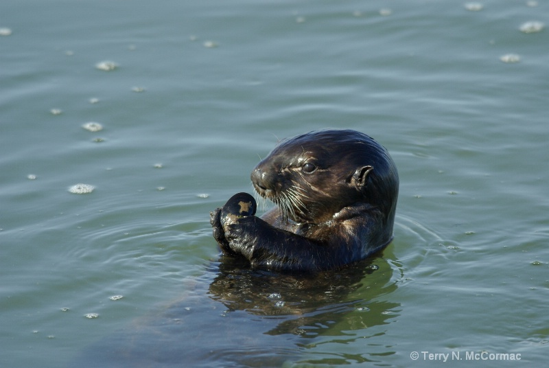 Young Sea Otter