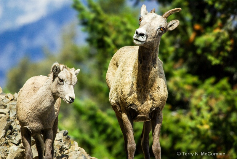 Mother with Calf Bighorn Sheep