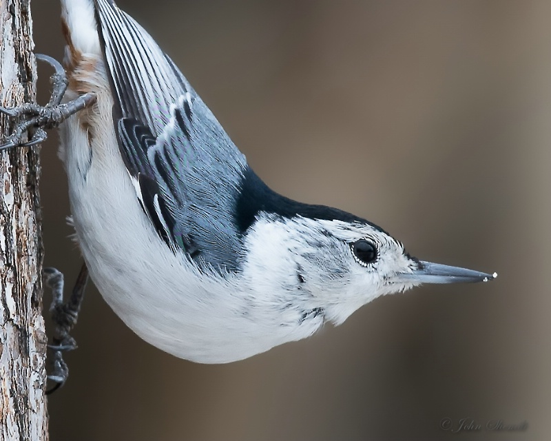 White-breasted Nuthatch - Mar 15th, 2015