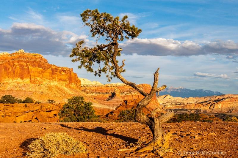 Juniper Tree at Panorama Point