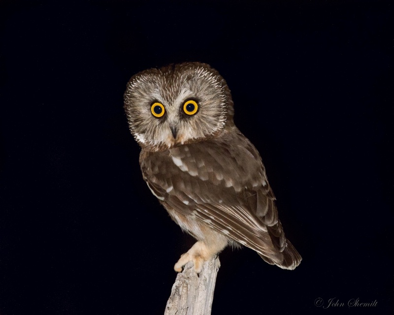 Northern Saw-whet Owl - March 23rd. 2015