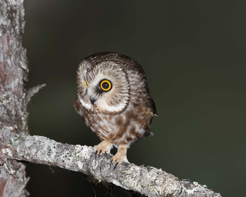 Northern Saw-whet Owl - March 21st. 2015