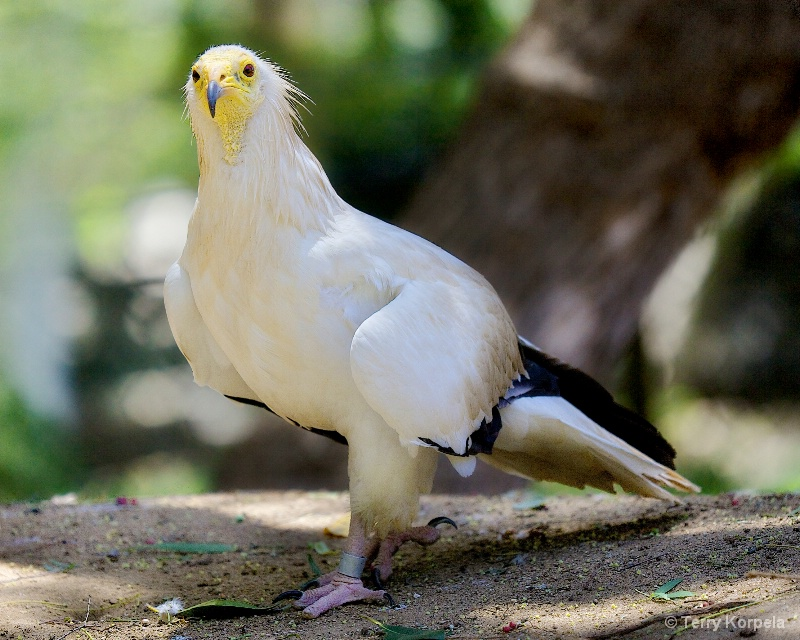 Western Egyptian Vulture