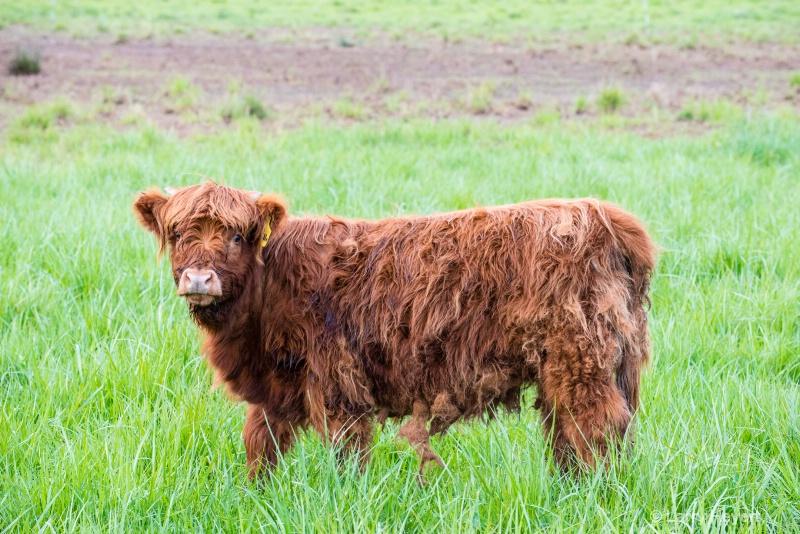 Cow in Mt Vernon, WA