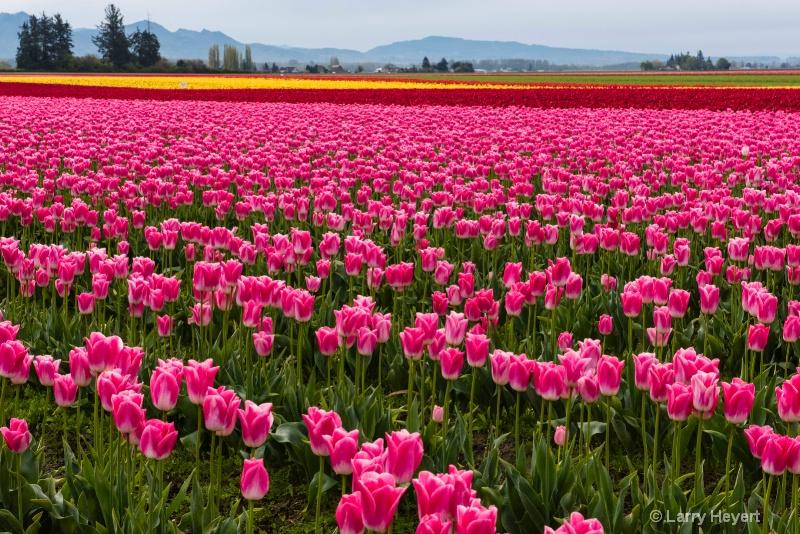 Tulips in Mt Vernon, WA