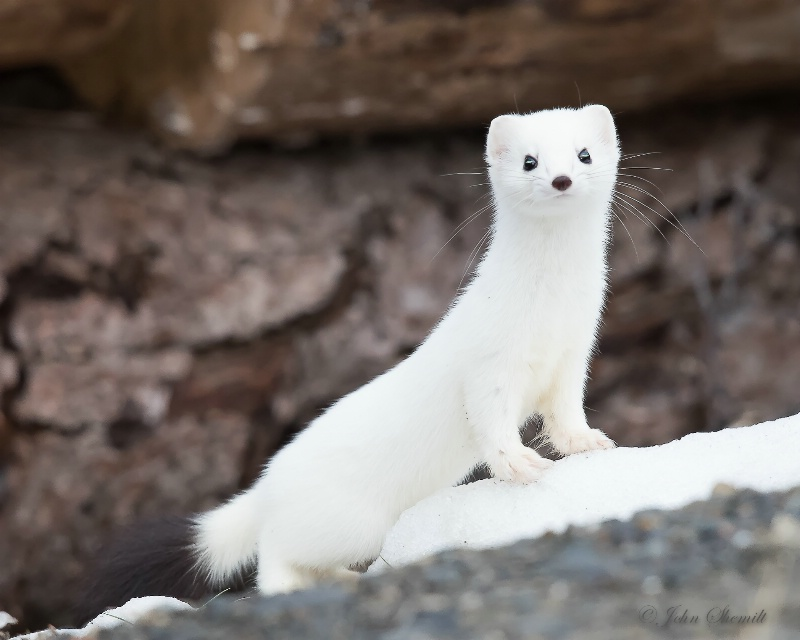 Short-tailed Weasel (Stoat) - March 21st, 2015