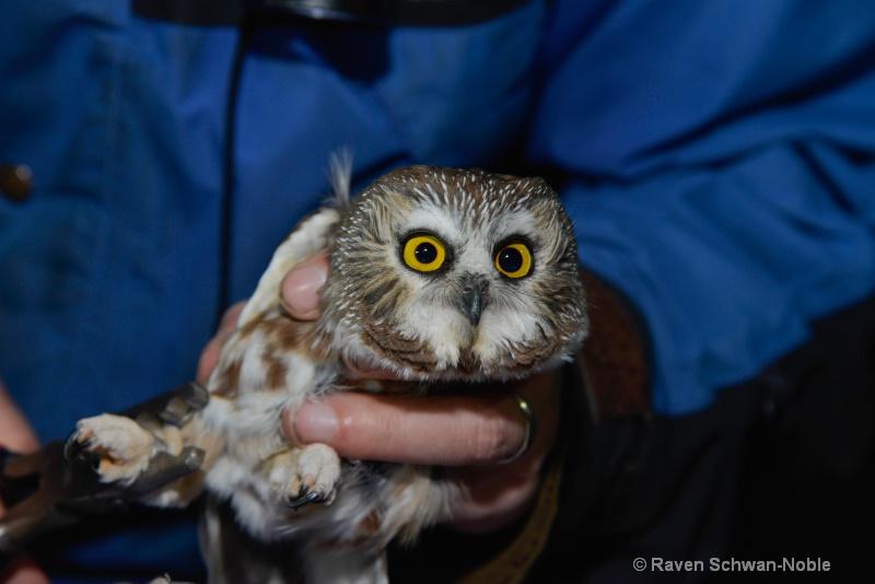 Saw-whet Owl 3
