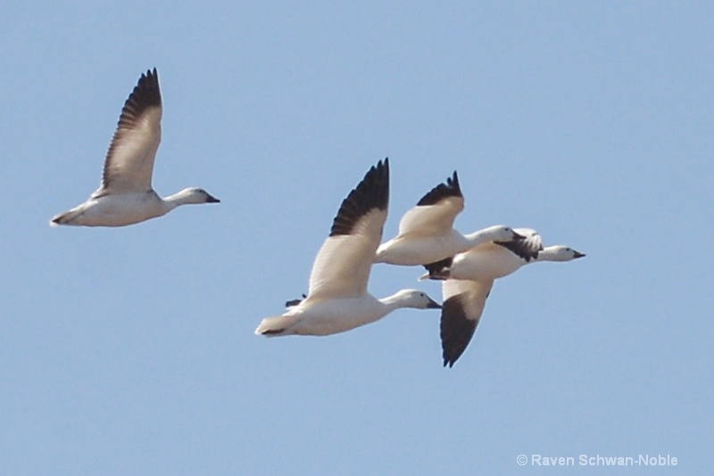 snowgeese11